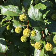 <i>Cephalanthus occidentalis</i> Magical® Moonlight'<br>Magical Moonlight Buttonbush
