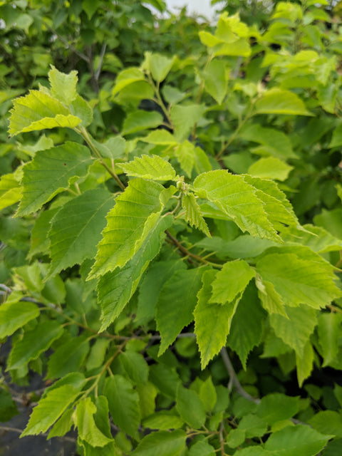 <i>Corylus americana</i> 'Little Filly'<br>Little Filly American hazelnut