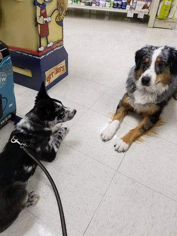 Puppy socializing with adult Australian Shepherd