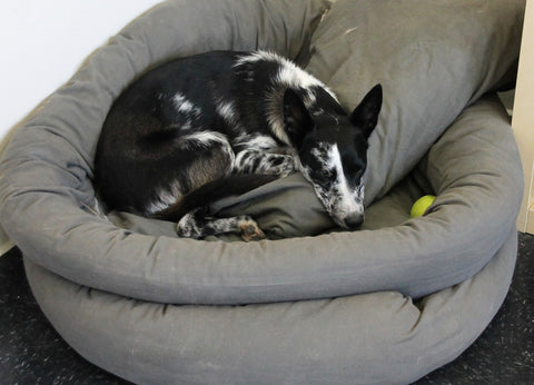 Australian Koolie taking a nap at the office
