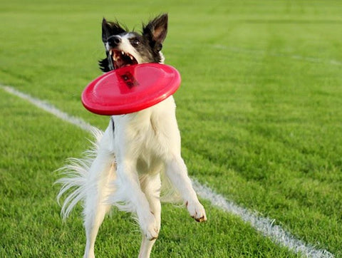 Silken Windhound loves playing frisbee