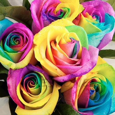 Rare Holland Rainbow Rose Flower Seeds -