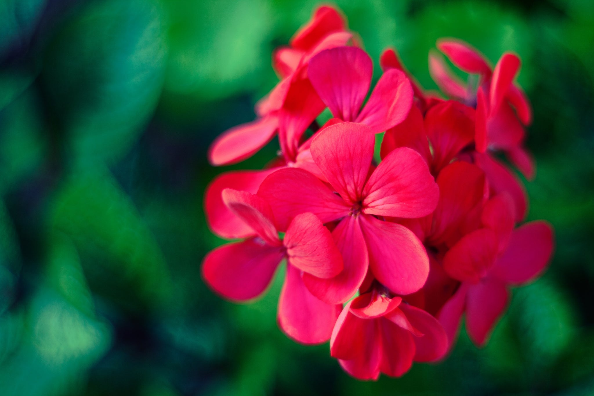 Why We Love Geranium Oil and You Should Too
