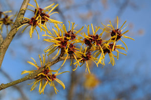 10 Reasons to keep Witch Hazel in your Cabinet!