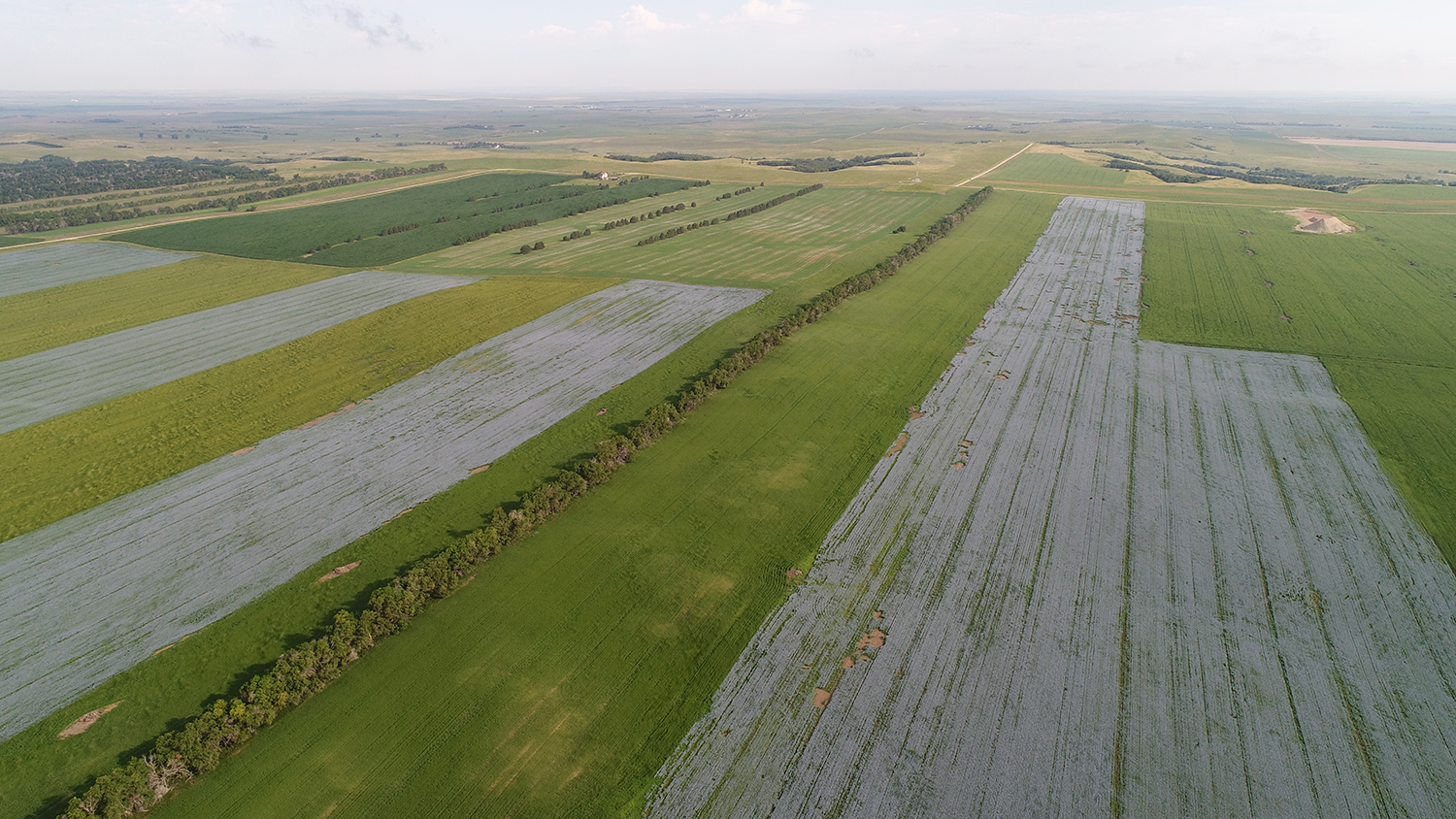 An aerial image of a flaxseed field