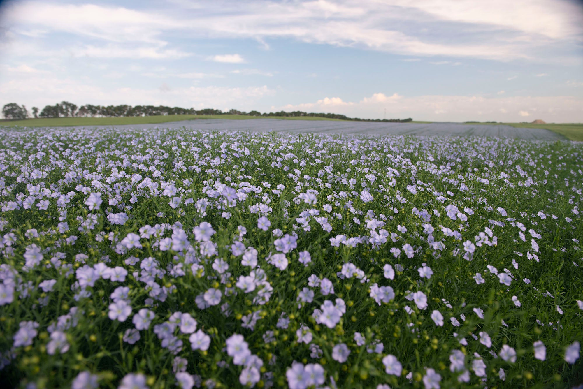 Image of flaxseed flowers in a field
