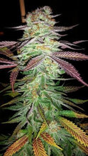 Blue Cookies - 10 regular seeds