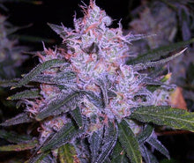 Blue Frost strain cannabis seeds flowers