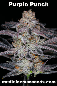 Purple Punch strain seeds