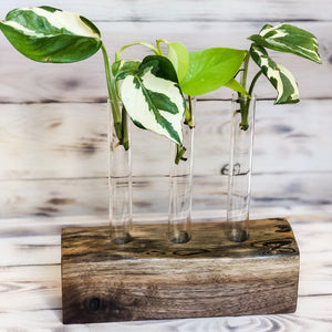 live edge walnut base propagation station with three glass vases holding pothos cuttings