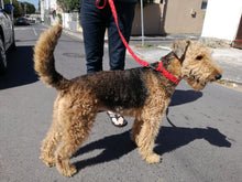 red dog collar and dog leash on airedale terrier by hunt and howingmoon