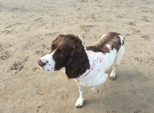 Springer spaniel wearing cotton dog bandana with pink rain drop print and hunt and holwingmoon label