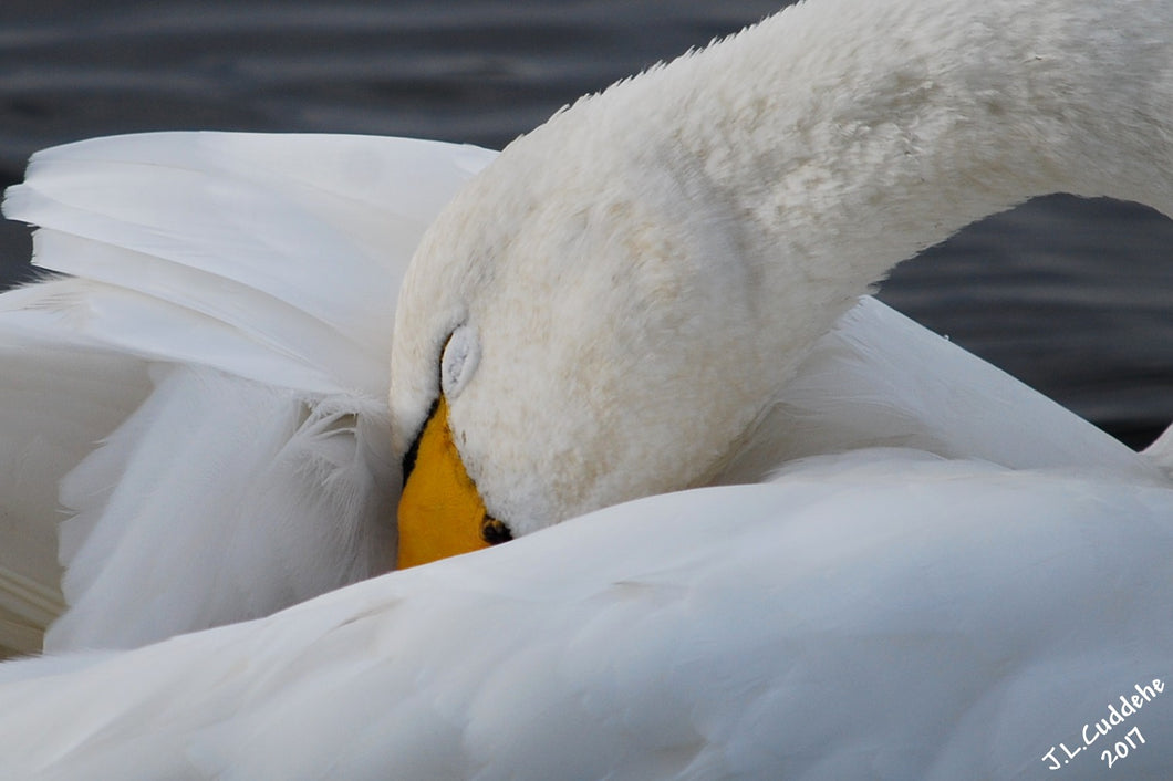 Preening and resting Whooper Swan photo by Judy Link Cuddehe for www.foundlinkpress.com.