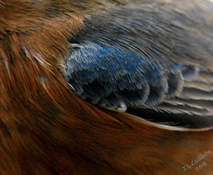 Macro photograph of the detail of a female bluebird. Bluebird deconstructed. Photo by Judy Link Cuddehe for Found Link Press.