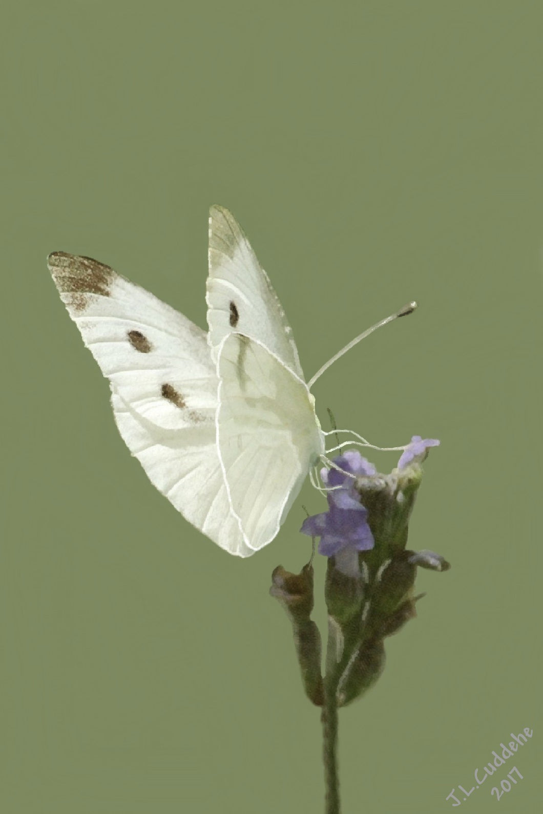 White cabbage butterfly on Lavender print by Judy Link Cuddehe for Found Link Press..