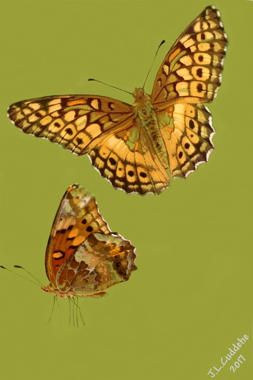 Variegated Fritillary Butterfly Print by Judy Link Cuddehe for Found Link Press.