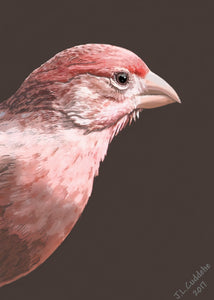 House Finch Print by Judy Link Cuddehe for Found Link Press.