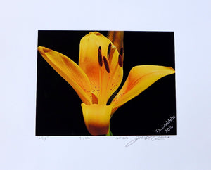 Yellow Lily photograph by Judy Link Cuddehe for Found Link Press.