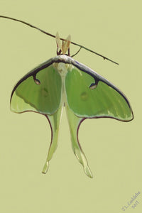 Luna Moth painting by Judy Link Cuddehe, for Found Link Press.
