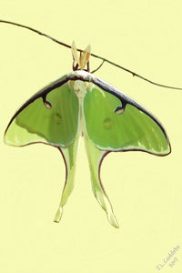 Luna Moth variation on yellow background. Print by Judy Link Cuddehe for Found Link Press.