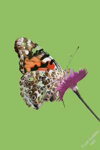 Painted Lady Butterfly on Dianthus flower Print by Judy Link Cuddehe for Found Link Press.