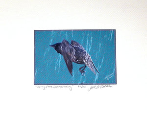 Starling Print on coldpress by Judy Link Cuddehe for Found Link Press.