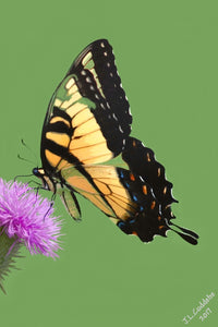 Tiger Swallowtail Butterfly on thistle flower print by Judy Link Cuddehe for Found Link Press.
