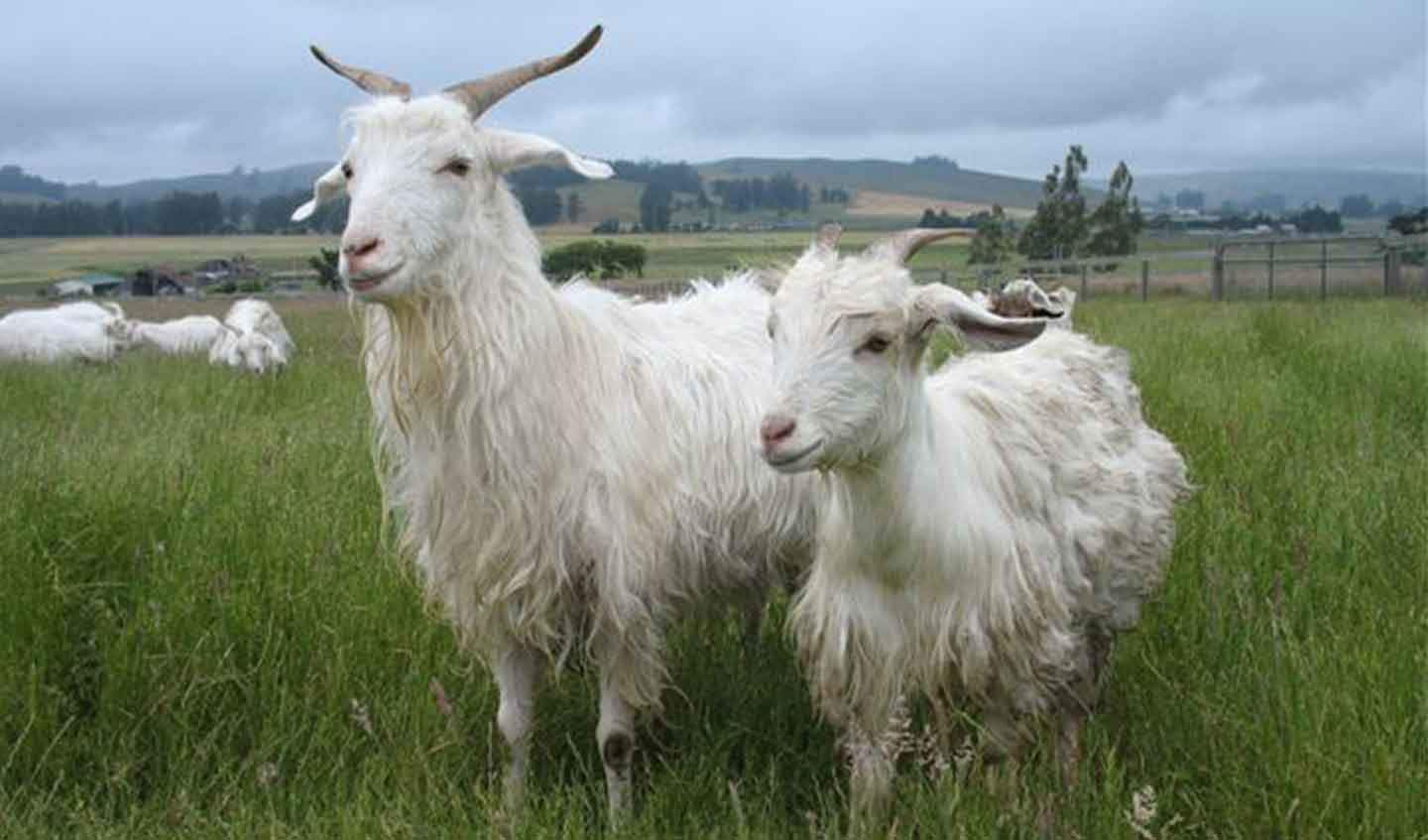 Cashmere goats in field