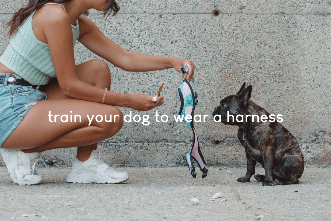 how to easily get your dog to wear their harness