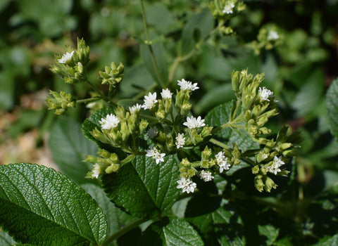 Stevia flower | sports supplements NSF