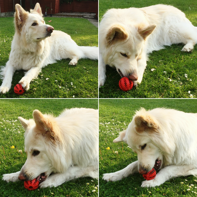 Four Shots of Roscoe, a German Shepard, in the garden playing with his dog treat ball dispenser toy attempting to get the treats.