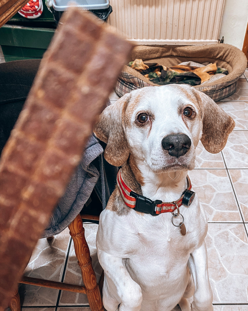 An image of Kai, a Beagle, up on his back legs ready for a Beef Chews.