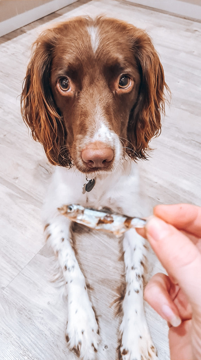 A Spaniel lying on the kitchen floor looking up at its owner holding a Sprat in front of them.