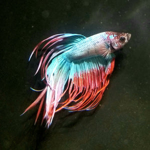 Crown Tail Betta - Male