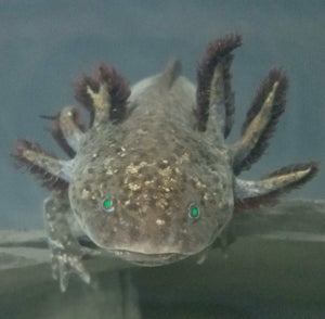 Wild Type (Gfp) Axolotl