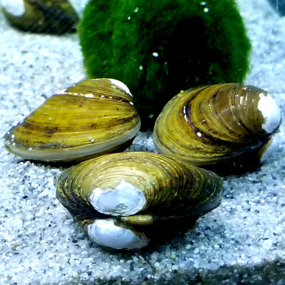 Freshwater Clam