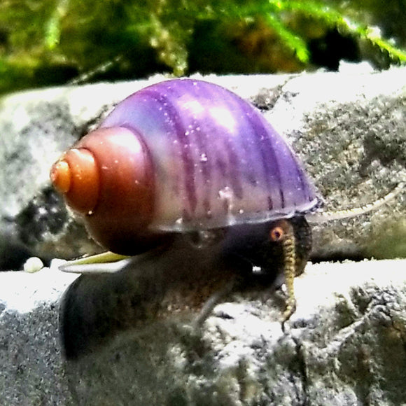Purple Mystery Snail