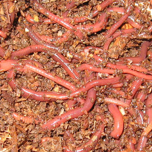10 Worm Multi-Level Experiment with Red Wigglers and European Nightcrawlers