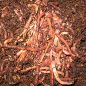 what is worm composting
