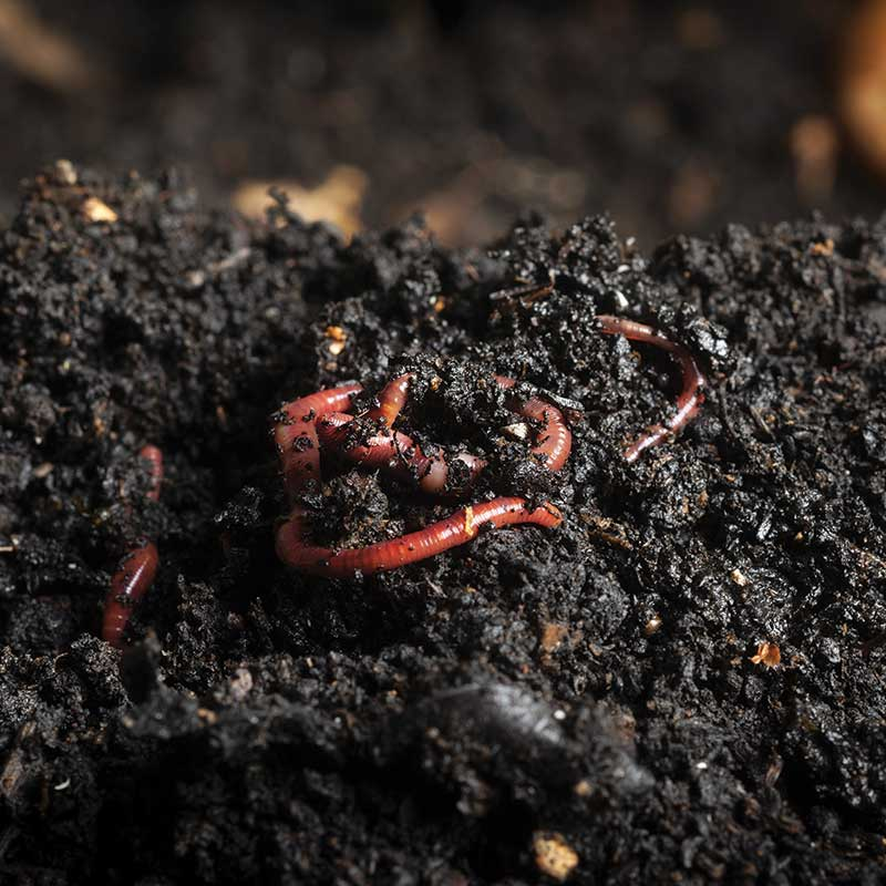worm compost photo