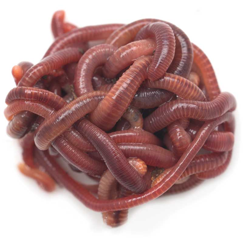 red composting worms photo