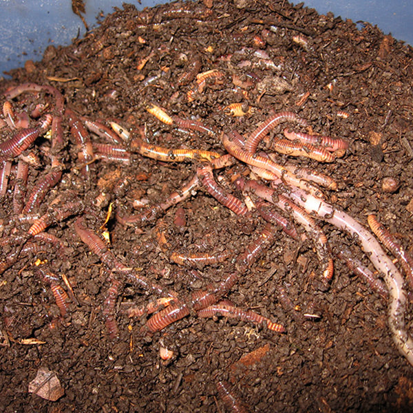 Compost Worm Mix (Red Wigglers) - Midwest Worms