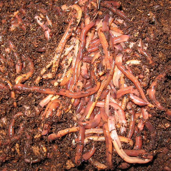 Red Wigglers -  (Eisenia fetida, Eisenia foetida) Compositing Worms - Midwest Worms