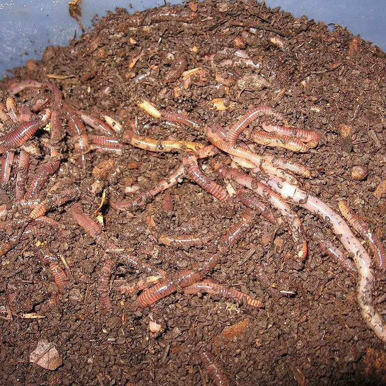 Compost Worm Mix (European Nightcrawlers) - Midwest Worms