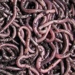 African Nightcrawlers (Eudrilus Eugeniae) - Midwest Worms