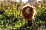 Lion Mane Dog Costume (M/L)
