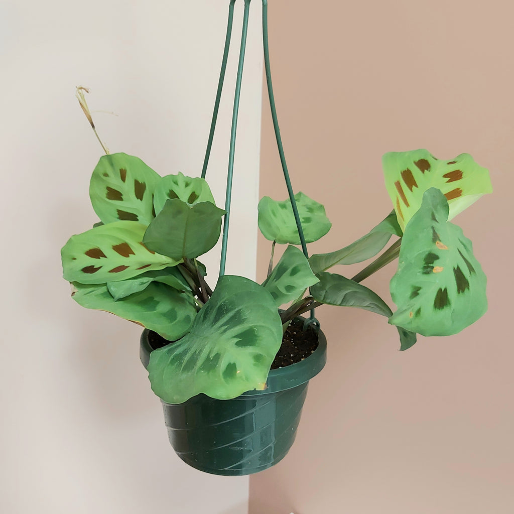 "Maranta- Prayer plant 6"" hanging"