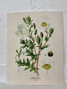 Vintage Botanical Mexican Poppy Flower Print