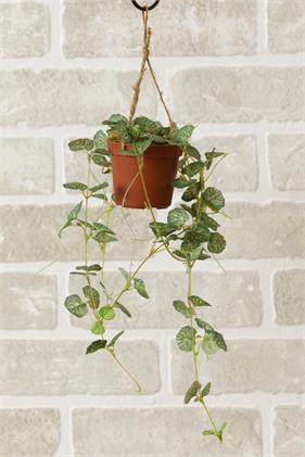 Miniature Strawberry Begonia Hanging Plant