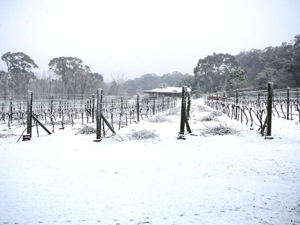 Snow In the Vineyard in Winter